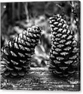 Pine Cones Talking  Acrylic Print