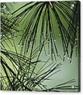 Pine Droplets Acrylic Print
