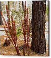 Pine Drops And Ponderosa Pine In Des Chutes Nf-or  Acrylic Print