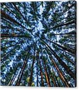 Pine Explosion Acrylic Print
