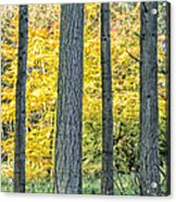 Pine Forest In The Autumn Acrylic Print