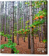 Pine Forest With Autumn Color Acrylic Print