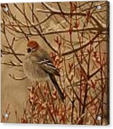 Pine Grosbeak Acrylic Print by Tammy  Taylor