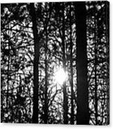 Pine Grove I Acrylic Print