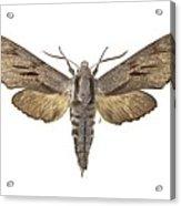 Pine Hawk Moth Acrylic Print