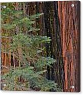 Pine In The Redwoods Acrylic Print