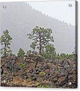 Pine On Lava Acrylic Print