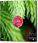 Pine Perfection Acrylic Print