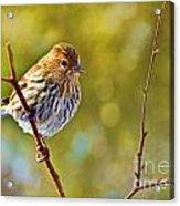 Pine Siskin - Digital Paint Acrylic Print