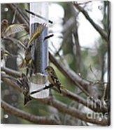 Pine Siskins In Flight Acrylic Print