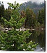 Pine Tree And Rain Drops Acrylic Print