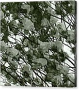 Pine Tree Branches Covered With Snow Acrylic Print