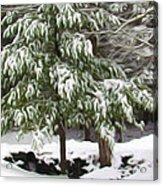 Pine Tree Covered With Snow 2 Acrylic Print