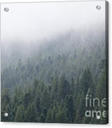 Pine Tree Forest In The Mist Acrylic Print