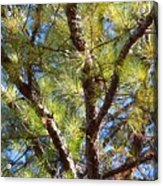 Pine Tree Glow 2014 Acrylic Print
