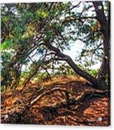 Pine Tree In Hoge Veluwe National Park 2. Netherlands Acrylic Print