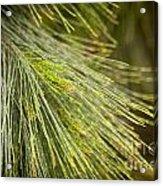 Pine Tree Needles Acrylic Print
