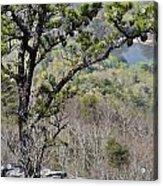 Pine Tree On A Mountain Acrylic Print by Susan Leggett