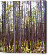 Pine Trees Acrylic Print