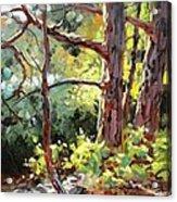 Pine Trees In Sunlight Acrylic Print