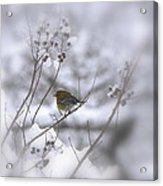 Pine Warbler In The Snow - Better Than Red Acrylic Print