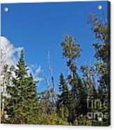 Pines In The Sky Acrylic Print