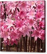 Pink Amaryllis Acrylic Print by Denice Breaux