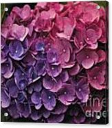 Pink And Blue Hydrangea Acrylic Print