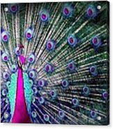 Pink And Blues Peacock Acrylic Print by Diana Shively