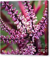 Pink And Cream Cluster Bloom Acrylic Print