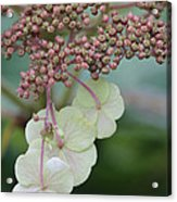 Pink And Green Hydrangea Closeup Acrylic Print
