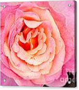 Pink And Peach Rose Flower Acrylic Print