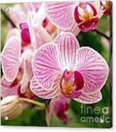 Pink And Purple Butterfly Orchids Acrylic Print