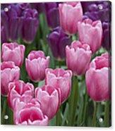 Pink And Purple Dutch Tulips Acrylic Print