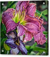 Pink And Purple Lily's Acrylic Print