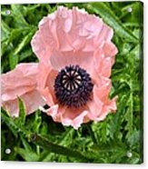 Pink And Purple Poppy Acrylic Print