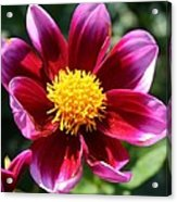 Pink And Red Dahlia Acrylic Print