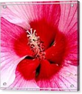 Pink And Red Hibiscus Flower Acrylic Print