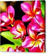 Pink And Red Plumeria Acrylic Print