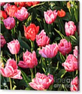 Pink And Red Ruffly Tulips Square Acrylic Print
