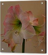 Pink And White Amaryllis  Acrylic Print