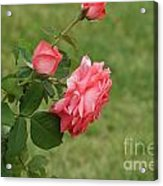 Pink And White Blended Stem Acrylic Print