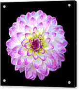 Pink And White Dahlia Posterized On Black Acrylic Print