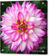Pink And White Dahlia Square Acrylic Print