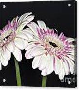 Pink And White Gerbera 2 Acrylic Print