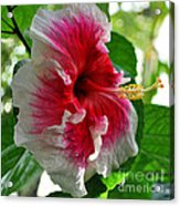 Pink And White Hibiscus Acrylic Print