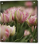 Pink And White Tulip Acrylic Print by Lesley Rigg