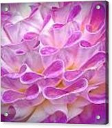 Pink And Yellow Dahlia Acrylic Print