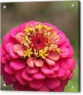Pink Floral  Acrylic Print