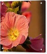 Pink And Yellow Hollyhock Acrylic Print